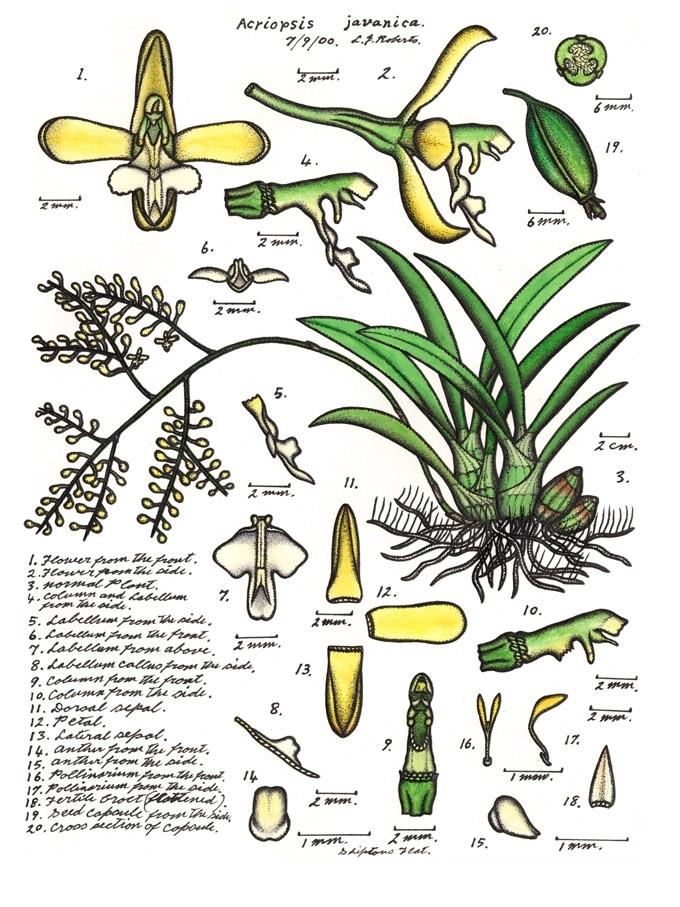 Image of <i>Acriopsis liliifolia</i> (J. Koenig) Seidenf.