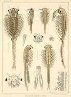 Image of <i>Branchinecta paludosa</i> (O. F. Müller 1788)
