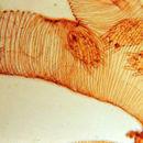 Image of <i>Acarapis woodi</i> (Rennie 1921) Rennie 1921