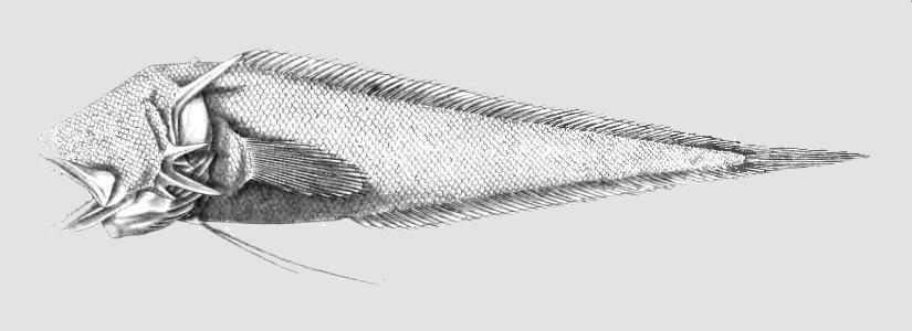 Image of <i>Tauredophidium hextii</i> Alcock 1890