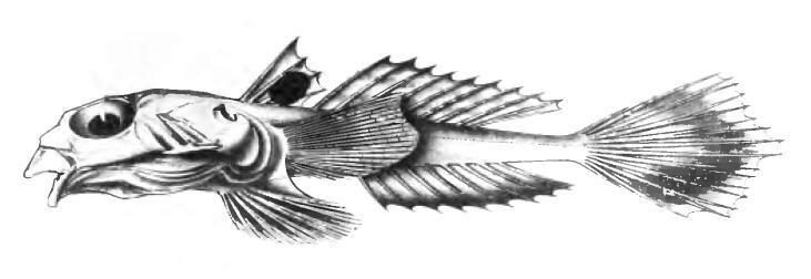 Image of <i>Callionymus carebares</i> Alcock 1890