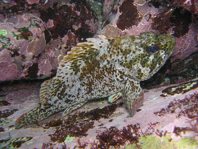 Image of Brassblotched rockfish