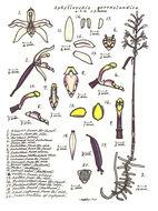Image of Pauper orchids