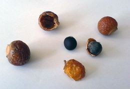 Image of Chinese soapberry