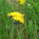 Image of <i>Pilosella caespitosa</i> (Dumort.) P. D. Sell & C. West