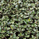 Image of Chinese holly