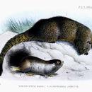 Image of Namaqua Dune Mole Rat
