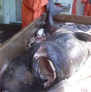 Image of Pacific Sleeper Shark