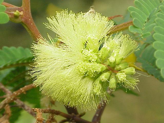 Image of plume albizia