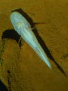 Image of Alabama Cavefish