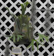 Image of <i>Platycerium hillii</i>