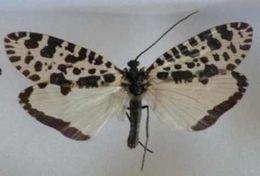 Image of <i>Semblis phalaenoides</i> (Linnaeus 1758)