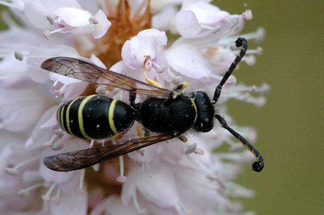 Image of <i>Odynerus spinipes</i>