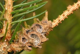Image of <i>Adelges</i> (<i>Sacchiphantes</i>) <i>abietis</i> (Linnaeus 1758)