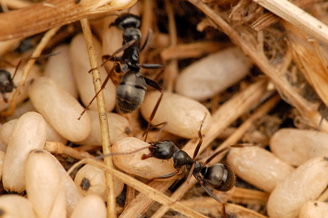 Image of Black garden ant