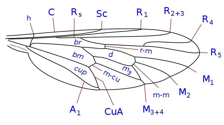 Image of Apsilocephalidae