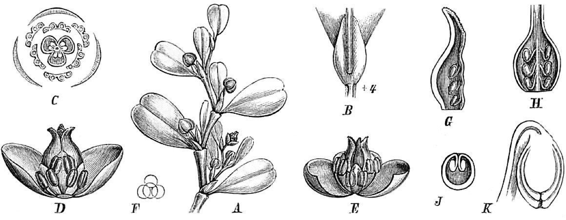 Image of <i>Lactoris fernandeziana</i> Phil.