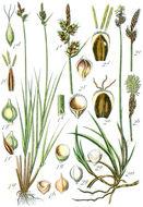 Image of <i>Carex ericetorum</i> Pollich