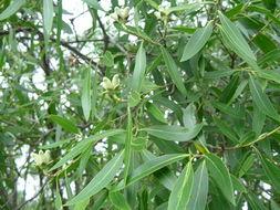 Image of <i>Quillaja brasiliensis</i> (A. St. Hilaire & Tulasne) C. Martius