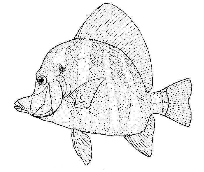 Image of Striped boarfish