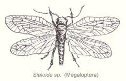 Image of alderflies