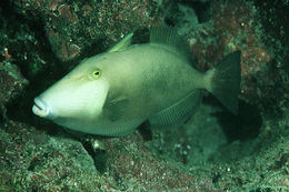 Image of Bridle Triggerfish