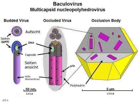 Image of Baculovirus