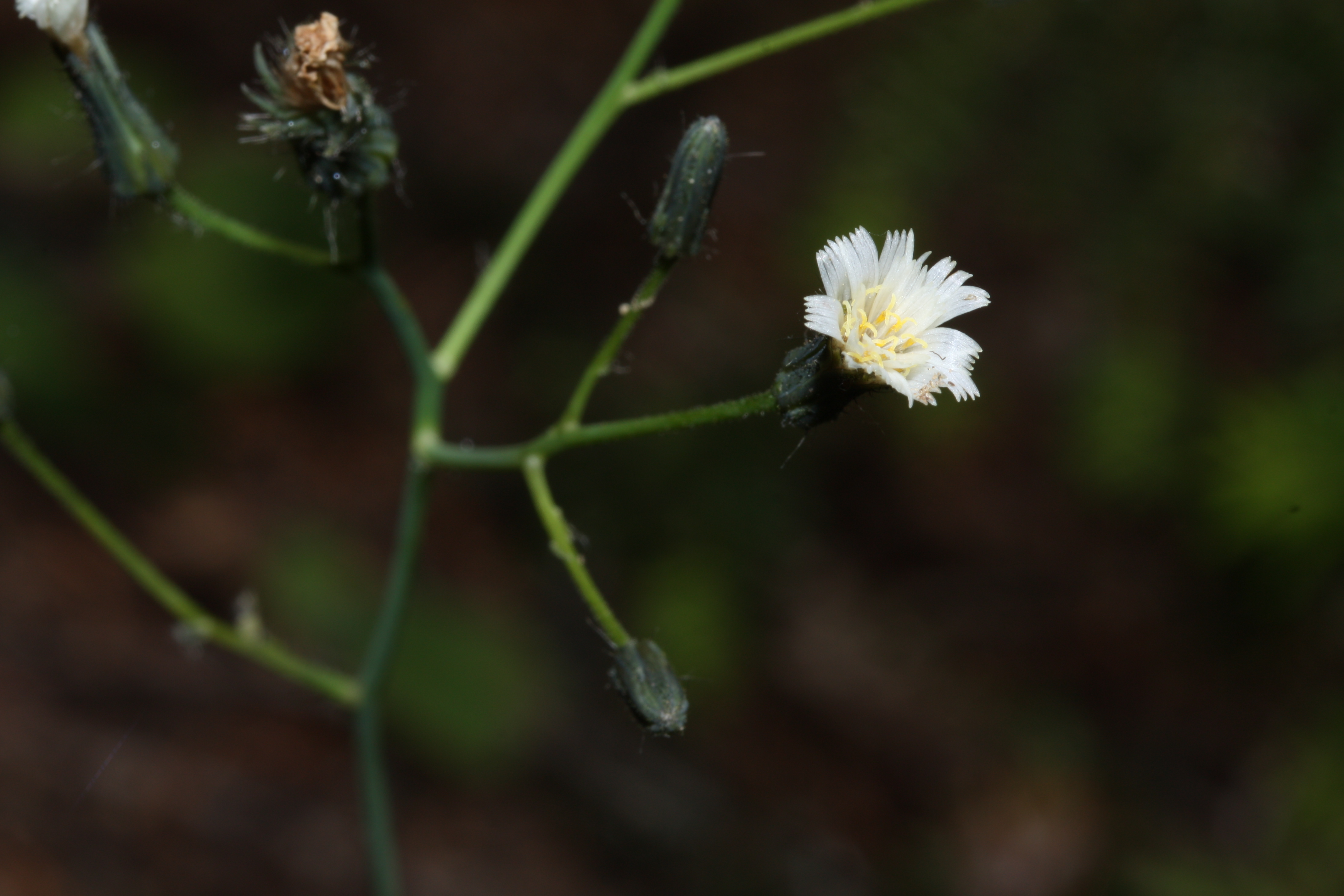 Image of white hawkweed