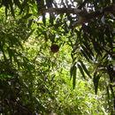 Image of <i>Hydnocarpus annamensis</i> (Gagnep.) Lescot & Sleum.