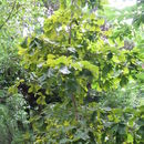 Image of Daimyo oak