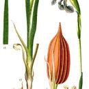 Image of Blue Iris