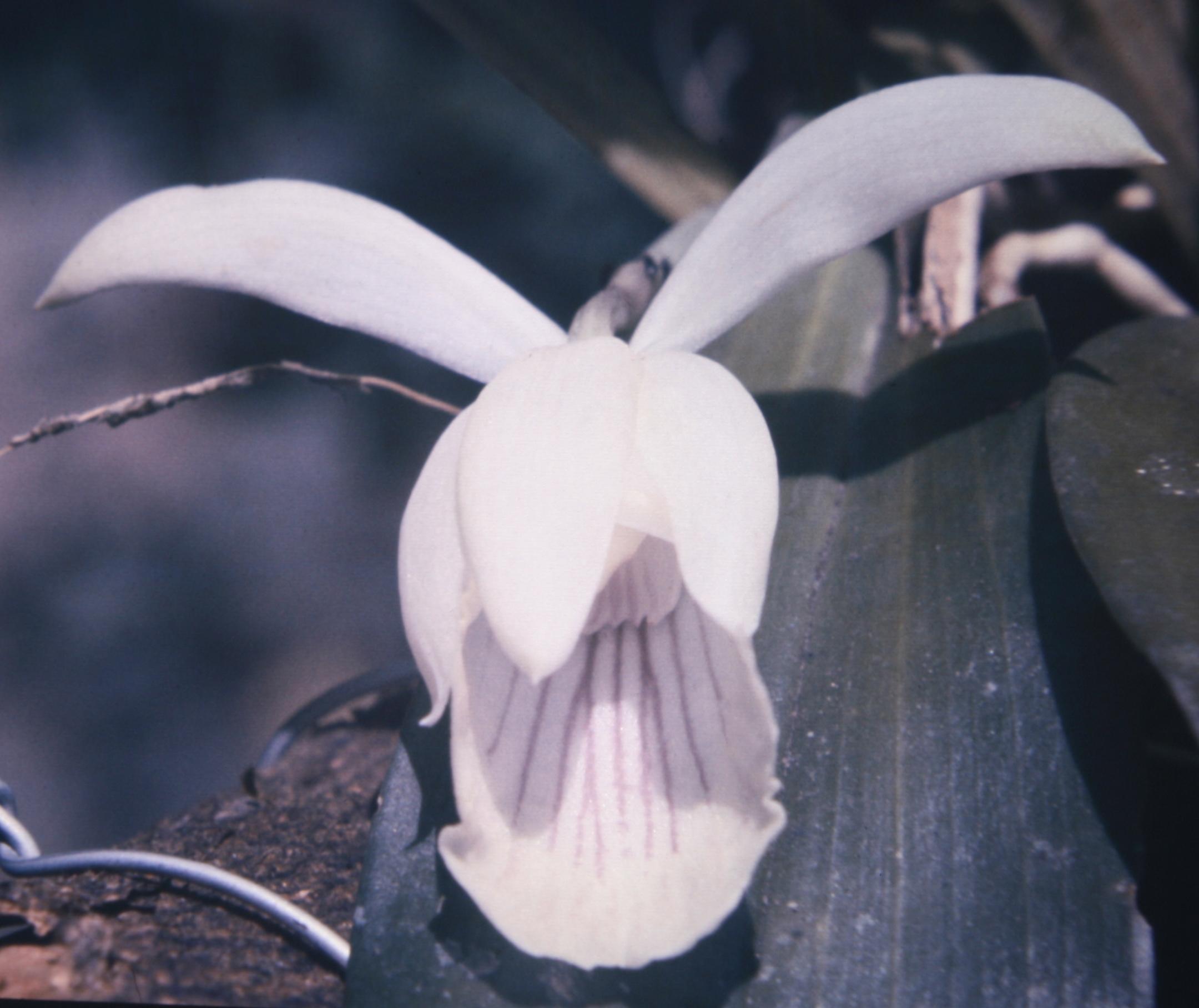 Image of <i>Cochleanthes amazonica</i>