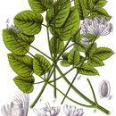 Image of <i>Laserpitium latifolium</i> L.