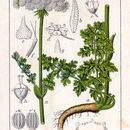 Image of Moon Carrot
