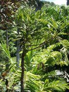 Image of <i>Retrophyllum comptonii</i> (J. T. Buchholz) C. N. Page