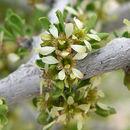Image of desert almond
