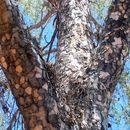 Image of <i>Flindersia maculosa</i> (Lindley) F. Müll.