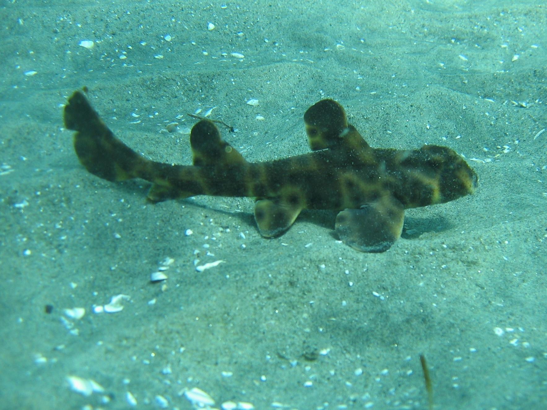 Image of Bullhead Shark