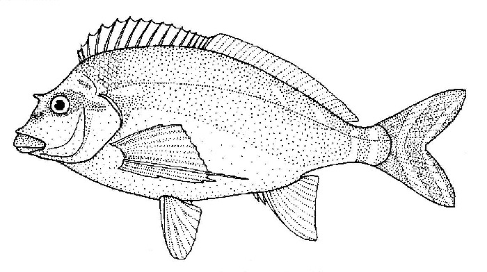 Image of Red morwong