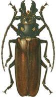 Image of <i>Callipogon</i> (<i>Eoxenus</i>) <i>relictus</i> Semenov 1899