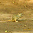 Image of Indian Desert Gerbil