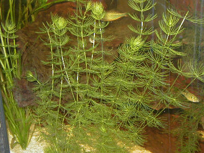 Image of Soft Hornwort