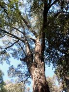 Image of gray ironbark
