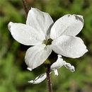 صورة <i>Lithophragma cymbalaria</i> Torr. & Gray