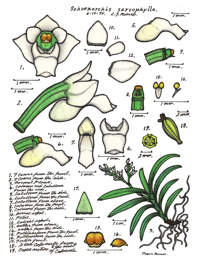 Image of Schoenorchis
