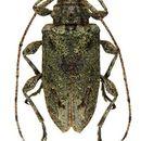 Image of Leptostylopsis