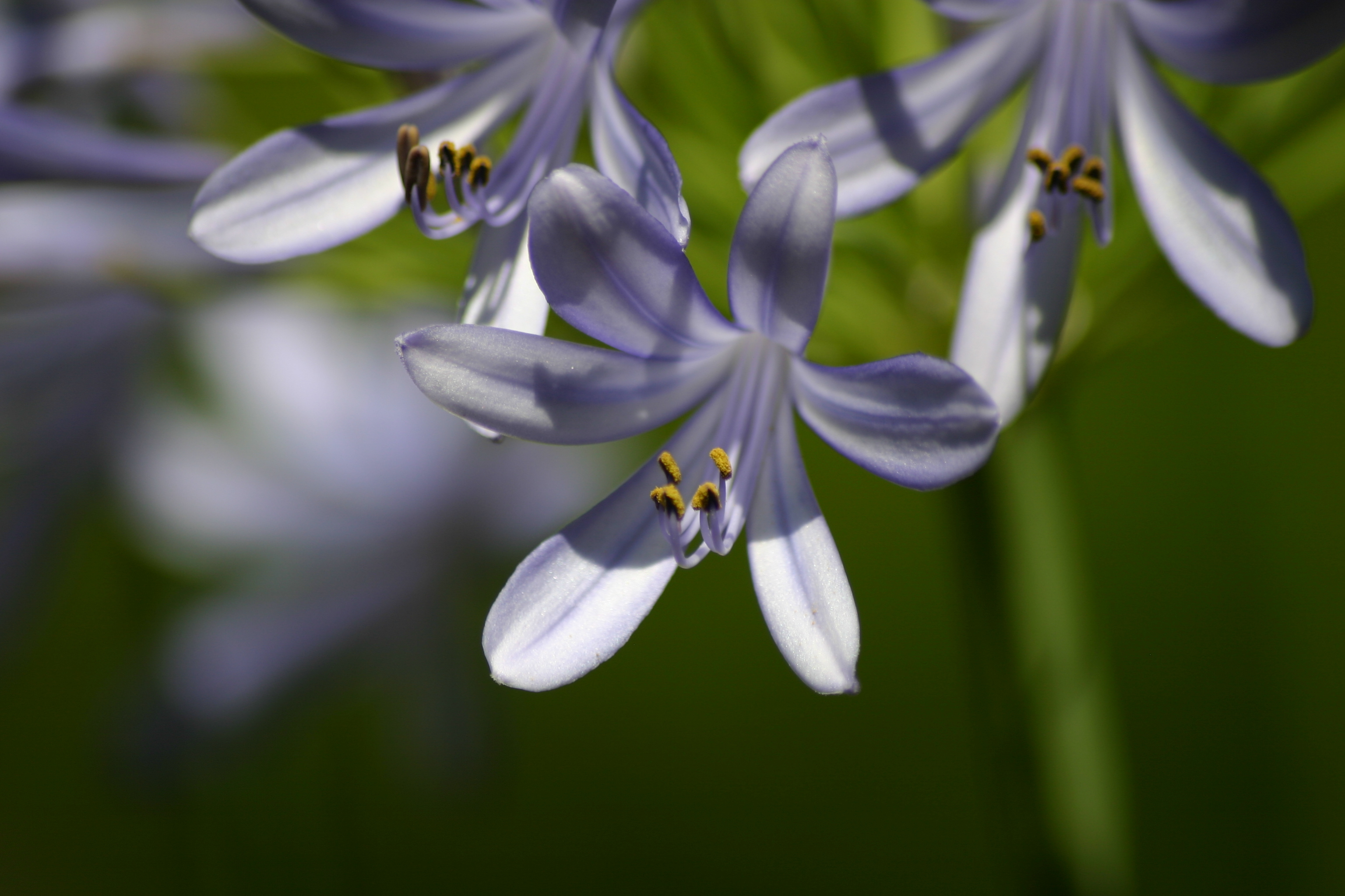 Image of lily of the Nile