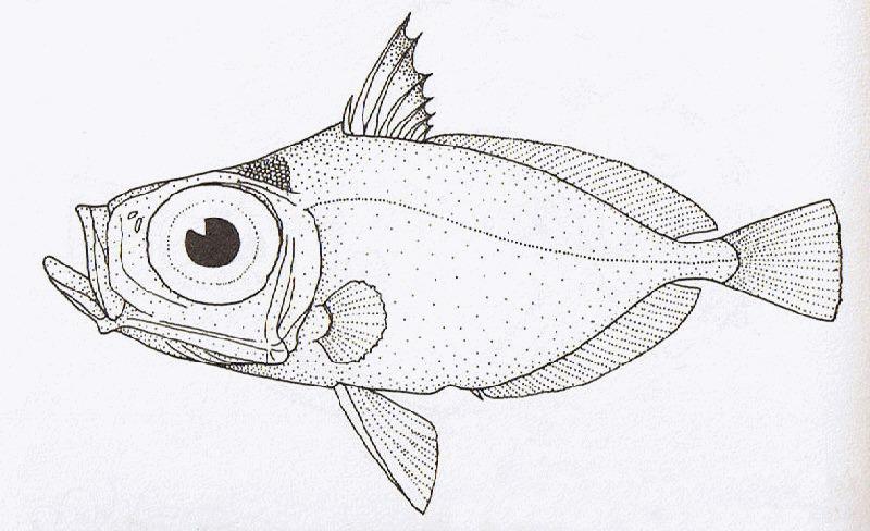 Image of Elongate dory