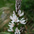 Слика од <i>Asphodelus macrocarpus</i> Parl.