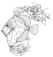 Image of King dory